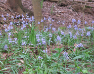 Bluebells below the track 2016 a