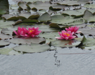 Lotuses for eating. Oct. 2014