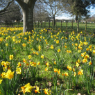 Daffodils in Payne Park-Cambridge Tree Trust