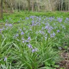Bluebells below the track 2016-c Cambridge Tree Trust