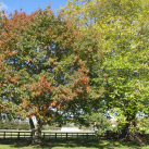 Silver maple- Cambridge Tree Trust
