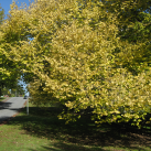 Golden elm- Cambridge Tree Trust