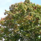 Red oak- Cambridge Tree Trust
