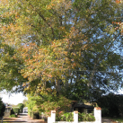 Scarlet oak- Cambridge Tree Trust