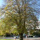 Lime tree- Cambridge Tree Trust