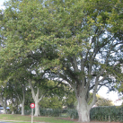 English oak- Cambridge Tree Trust