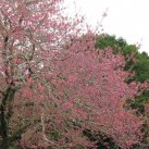 Cherry in bloom Sept. 2017- Cambridge Tree Trust