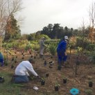 Extending the top planting 1. Cambridge Tree Trust