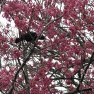Maungakawa- tui feeding in the cherry. Sept. 2017- Cambridge Tree Trust